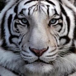 tigertvi Avatar