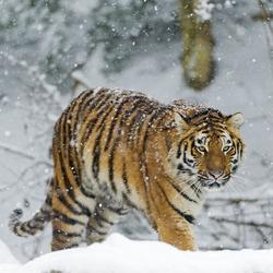 Siberian Stripes Avatar
