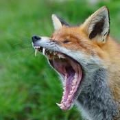 Lazy Fox66 Avatar