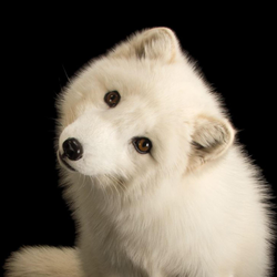 Baffin Arctic Foxes Avatar