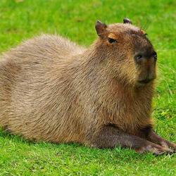 SnobCapybara Avatar