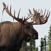 A Moose Avatar