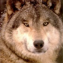 Wolfman Avatar